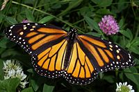 200px-Monarch_In_May